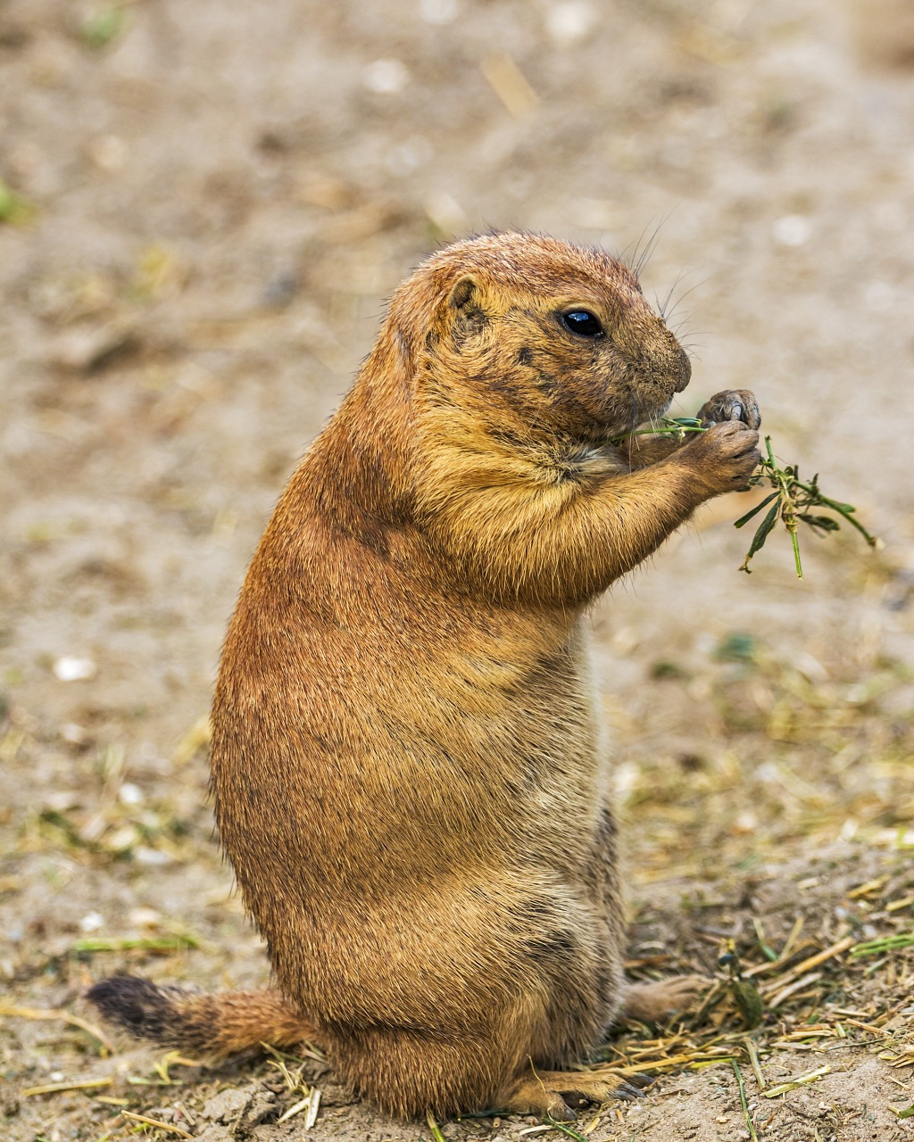 A prairie dog sitting up eating a piece of vegetation in its paws