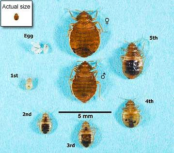 Actual size of a bed bug